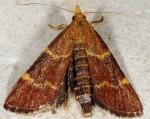 Hypsopygia rubidalis 04 1
