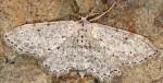 Idaea albarracina 66 4