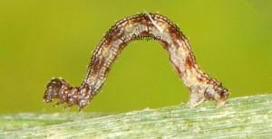 Idaea alyssumata L3 34 1