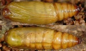 Idaea alyssumata chrysalide 66 1