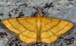 Idaea aureolaria 05 2