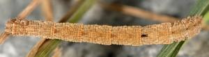 Idaea calunetaria L5 06 1