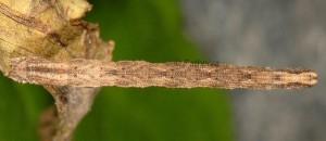 Idaea cervantaria L4 66 2