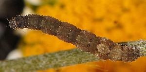 Idaea efflorata L5 3