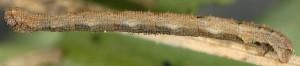 Idaea obliquaria L3 2A 3