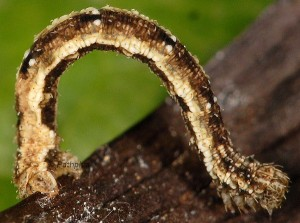Idaea vesubiata L4 06 5