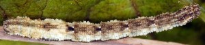 Idaea vesubiata L5 06 1