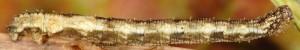 Idaea vesubiata L5 06 2