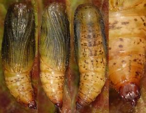 Idaea vesubiata chrysalide 06 1