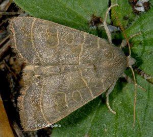 Ipimorpha subtusa