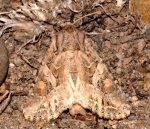Lacanobia blenna (I)