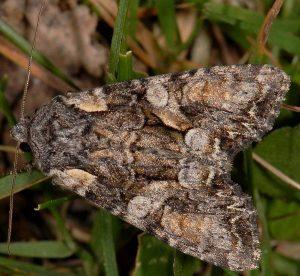 Lacanobia contigua 1