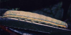 Lacanobia oleracea L5 2