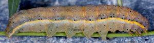 Lacanobia oleracea L5 7