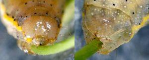 Lacanobia oleracea L5 9