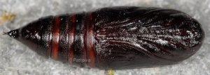 Lacanobia oleracea p 1