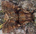 Lacanobia thalassina (I, L4, L5, P)