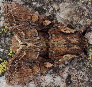 Lacanobia thalassina