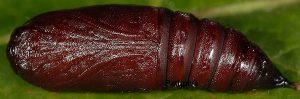 Lacanobia thalassina p 1