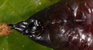 Lacanobia thalassina p 4
