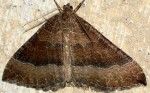 Larentia clavaria 06 1
