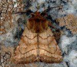 Lasionycta imbecilla (I)