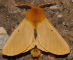Lemonia taraxaci (I)