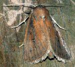 Lenisa geminipuncta (I)