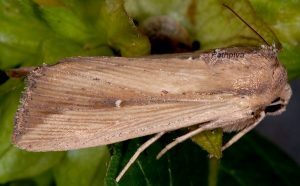 Leucania loreyi 1
