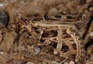 Leucochlaena turatii 3