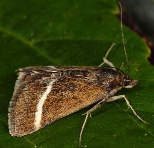 Loxostege fascialis 06 1