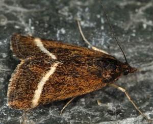 Loxostege fascialis 06 3