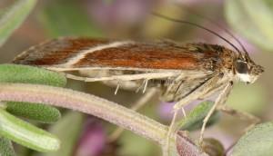 Loxostege fascialis 06 6