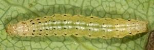 Loxostege fascialis