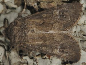Luperina nickerlii 3
