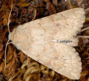 Luperina rubella 06 3