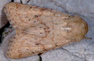 Luperina rubella 2