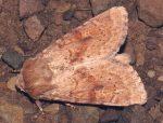 Luperina rubella (I)