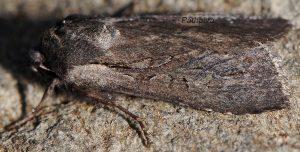 Lycophotia molothina