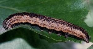 Lygephila craccae L5 3