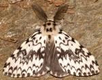 Lymantria monacha (I, L4, L5, P)