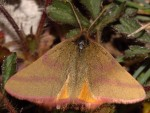 Lythria purpuraria 05 2