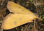 Mecyna trinalis 06 4