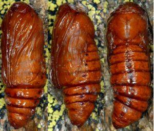 Meganephria-bimaculosa-chrysalide-06-1