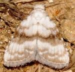 Meganola albula (I)