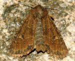 Mesapamea secalis (I)