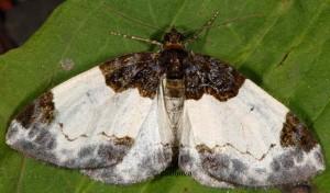 Mesoleuca albicillata 38 1