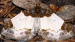 Mesoleuca albicillata 38 2