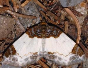 Mesoleuca albicillata 38 3