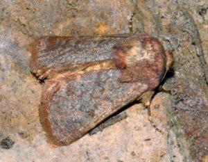 Metopoceras felicina